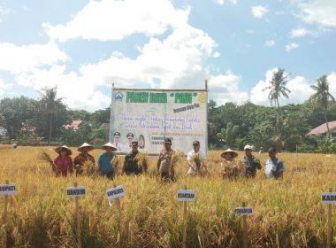 Panen Raya padi di Kelurahan Lembang, Kecamatan Bantaeng.