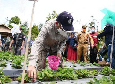 Memetik strawberry di Bantaeng.