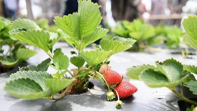 Rasa strawberry Bantaeng.